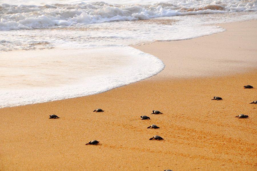 Turtles hatchery, Kosgoda, Sri Lanka